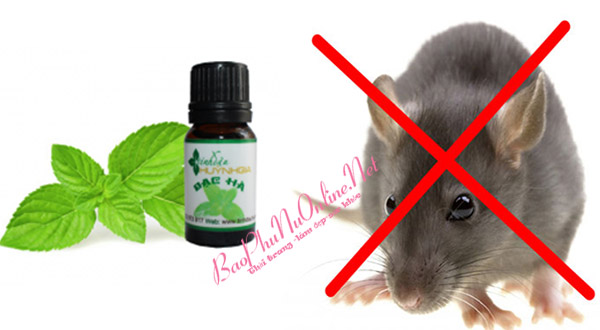 Hướng dẫn cách đuổi chuột bằng tinh dầu bạc hà hiệu quả